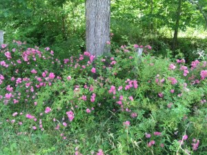 Love this bush growing wild. It appears to me a mini rose bush.  Please let me know if it is something different.